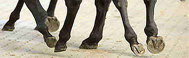 laminitis, founder, mavicular disease are common hoof ailments